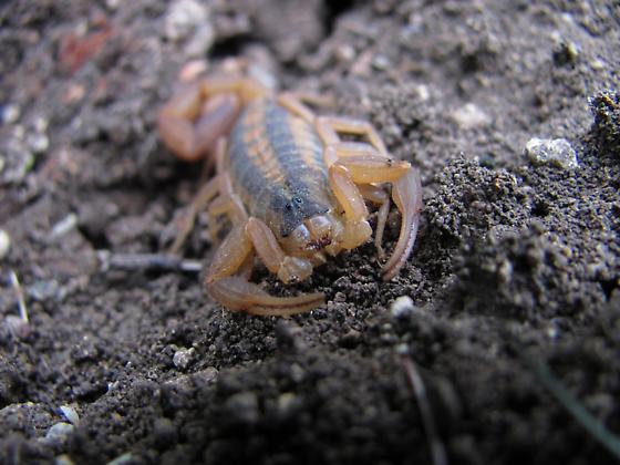 Bark Scorpion - Centruroides vittatus