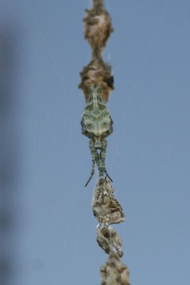 Uloborus glomosus - featherlegged spider? - Allocyclosa bifurca