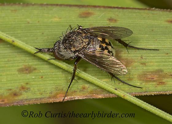 900_7337 fly - Toxophora amphitea