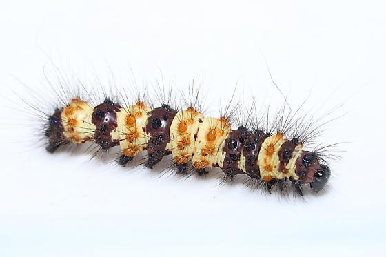 Caterpillar - Dysschema howardi