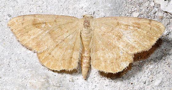Semaeopus  - Semaeopus