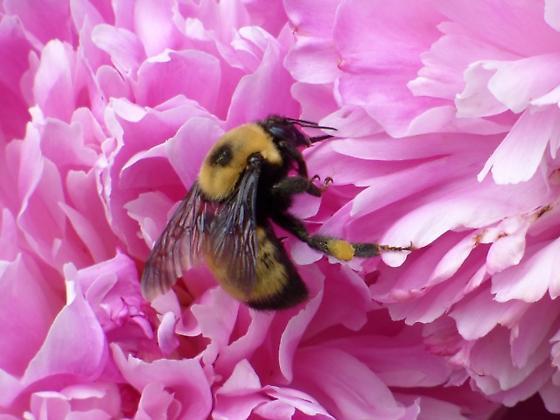 Nevada Bumble Bee (Bombus nevadensis)? - Bombus nevadensis - female