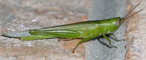 Glassywinged toothpick grasshopper