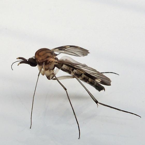 fly - Heteropterna cressoni