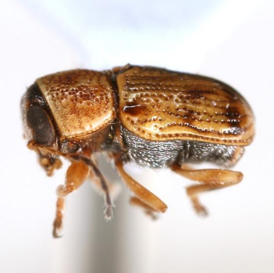 Pachybrachis laevis Bowditch - Pachybrachis laevis