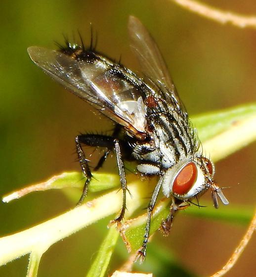 Tachinidae? - Chetogena tachinomoides - male