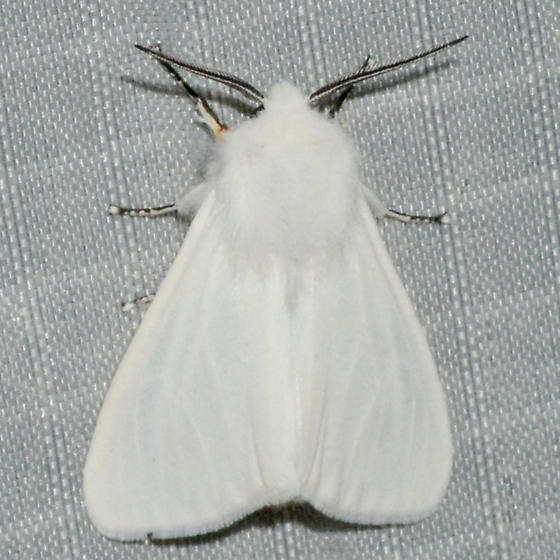 Fall Webworm Moth - Hyphantria cunea - male