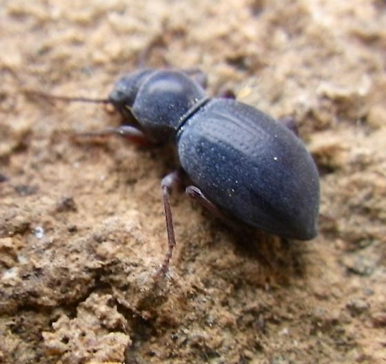 Beetle 4.10.16 - Triorophus