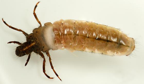 caddisfly larva - Onocosmoecus unicolor