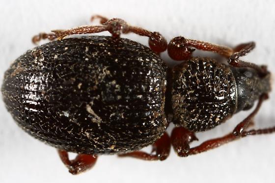 Unknown weevil - Otiorhynchus ovatus
