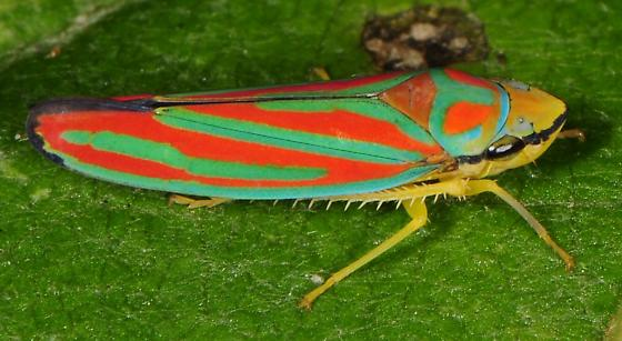 Graphocephala coccinea quadrivittata? - Graphocephala