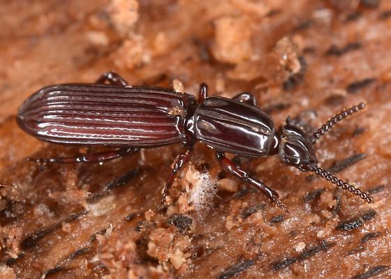 Beetle - Clinidium