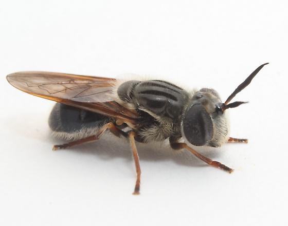 Callicera erratica - female