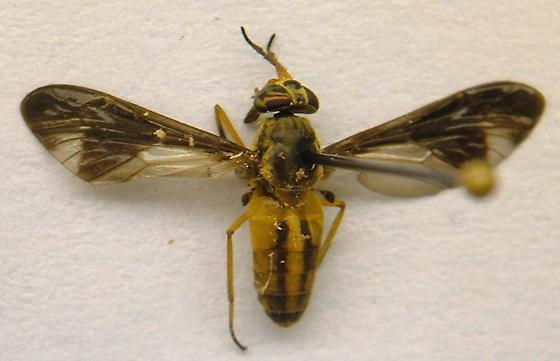 Deer Fly - Chrysops macquarti - female
