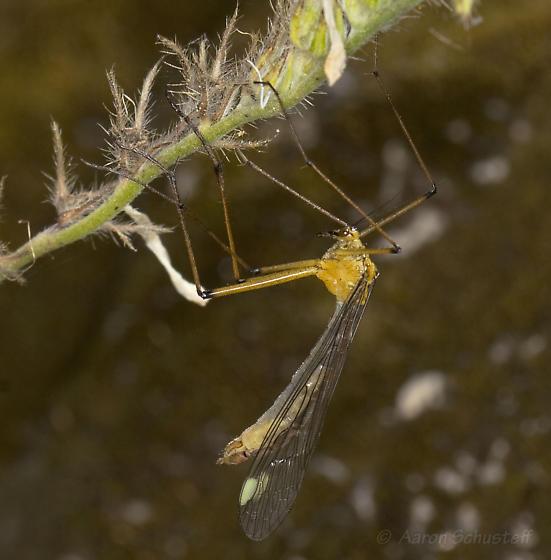 CA Hanging Fly 1 - Bittacus chlorostigma - female