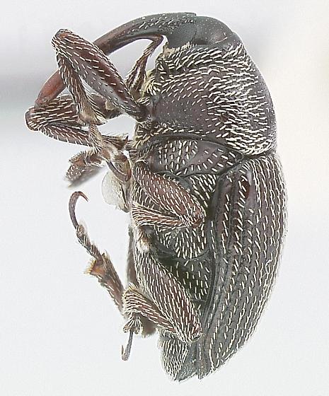 Acentrinops brevicollis Casey - Acentrinops brevicollis