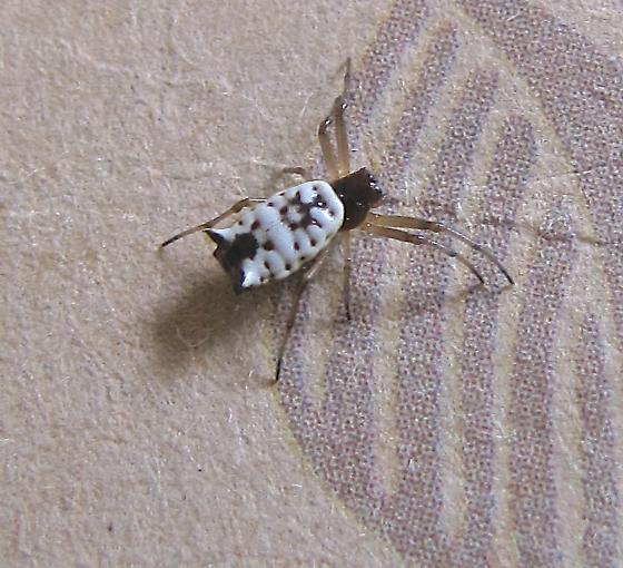 Tiny White and Black Spider with Two Horns - Micrathena mitrata