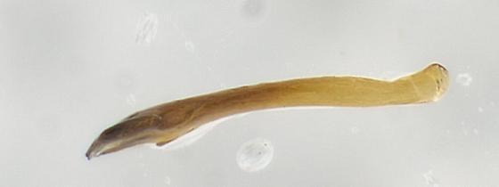 Chloroperlid - Sweltsa borealis