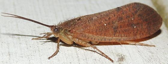 Rust Moth - Ptilostomis