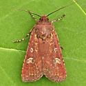Sordid Dart - Euxoa adumbrata - male