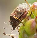 Bugs on logan berries - Kleidocerys