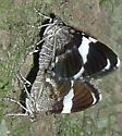 Unknown moths - Trichodezia albovittata - male - female