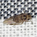 Common Barklouse - Blastopsocus lithinus - male