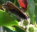 elfin? - Callophrys henrici