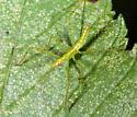 Reduviidae? - Zelus luridus