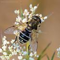 Unknown Hoverfly - Eristalis arbustorum