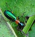 Carabidae - Ground Beetles Calleida punctata  - Calleida punctata