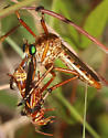 Diogmites species - Diogmites