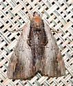 Catocala ultronia - Ultronia Underwing - Catocala ultronia