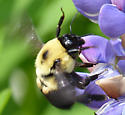two-spotted queen? - Bombus griseocollis