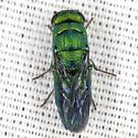 Cuckoo Wasp - Exochrysis alabamensis