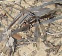 unknown dragonfly - Ladona deplanata