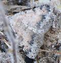 Moth - Digrammia colorata