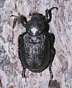 Scarabaeidae, dorsal - Osmoderma scabra