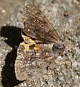moth - Catocala