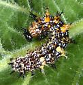Unknown caterpillar - Question Mark? - Polygonia interrogationis