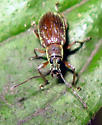 Asiatic Oak Weevil - Cyrtepistomus castaneus