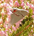 Butterfly in rock garden - Strymon melinus