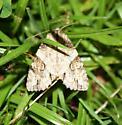 Moth - Morrisonia latex