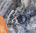 Black Widow - Latrodectus - female