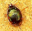 Round Sand Beetle - Omophron nitidum