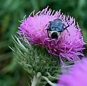 Chafer sp. ? - Trichiotinus viridans