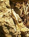 Carolina Grasshopper - Dissosteira carolina
