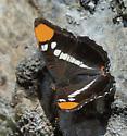 California Sister - Adelpha californica - female