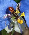 Villini bee fly ?  on Commelina - Toxomerus boscii