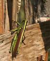 Obscure Bird Grasshopper - Schistocerca obscura - male